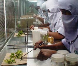 Soil Fertigation Test Lab   Tissue Culture Banana Plants
